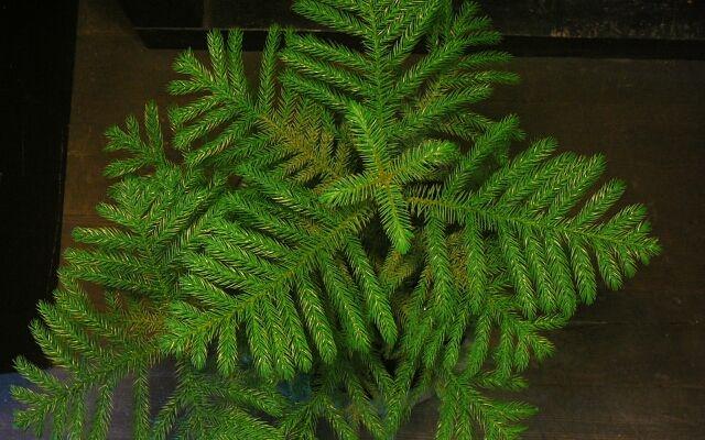 Араукария - уход в домашних условиях: хвойные ароматы