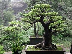Дерево по фэн-шуй