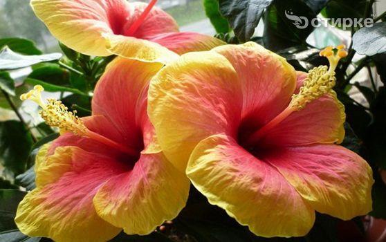 Интригующий цветок гибискус