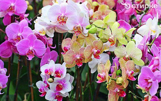 Изысканная орхидея: уход за растением