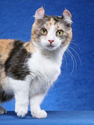 Кинкалоу: порода миниатюрных кошек