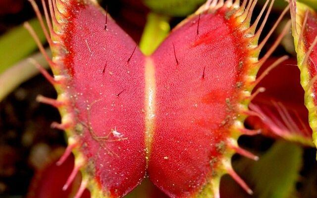 Венерина мухоловка - уход в домашних условиях: комнатный хищник